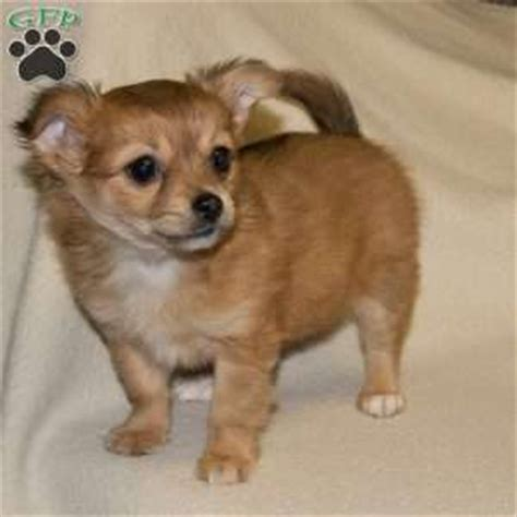 chihuahua puppies for sale nj chihuahua puppies for sale in de md ny nj philly dc and baltimore