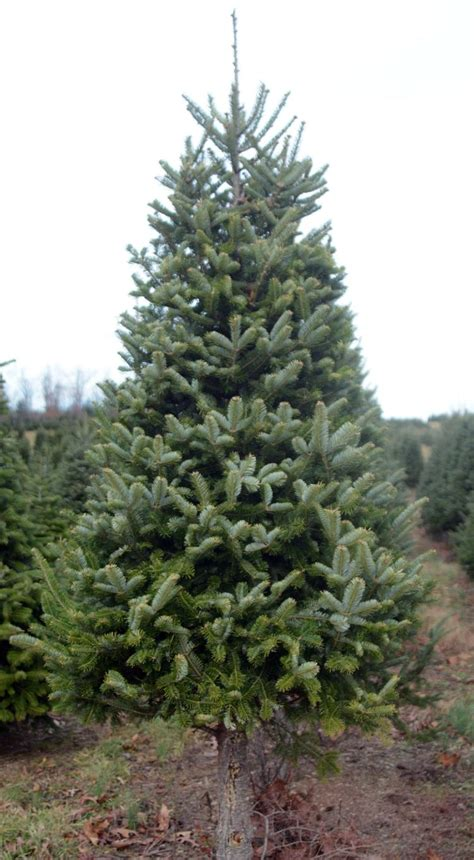 christmas tree needle retention how to choose your tree the daily item news