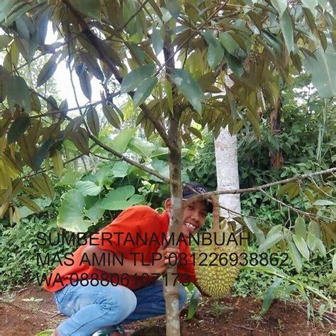 Harga Bibit Durian Bawor 2016 jual bibit tanaman buah unggul