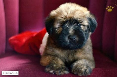 wheaten terrier puppies ohio 11 best images about soft coated wheaton terrier on ohio wheaten terrier