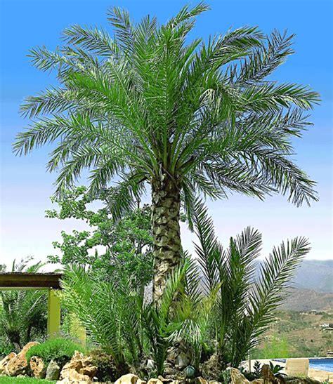Winterharte Palmen Pflege 5797 by Chilenische Honigpalme 1a Qualit 228 T Kaufen Baldur Garten