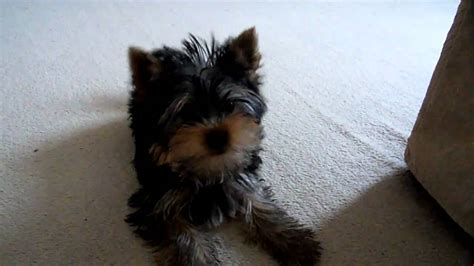 yorkie bark yorkie barking is your terrier barking breeds picture