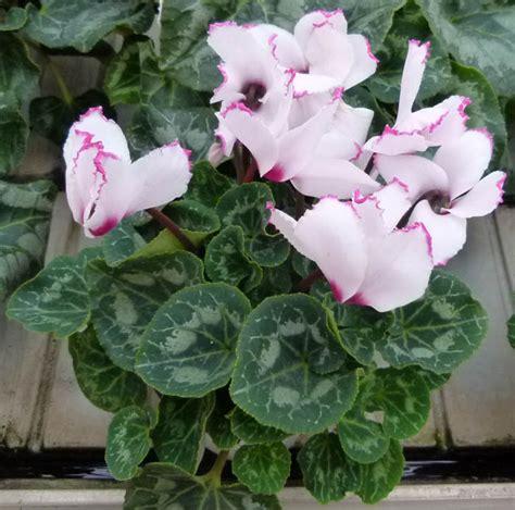 come curare i ciclamini in vaso ciclamino cyclamen primulaceae come curare e