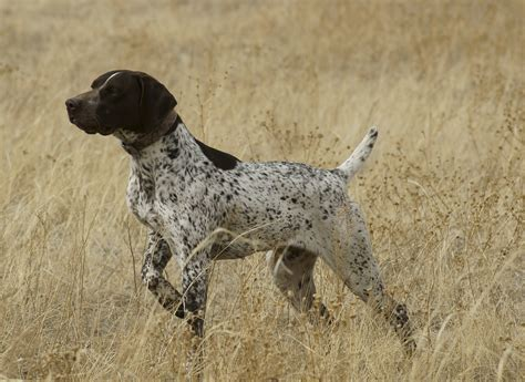 german pointer german longhaired pointer pictures wallpapers9