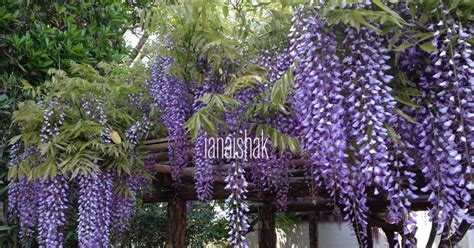 wisteria in japan wisteria in japan iana