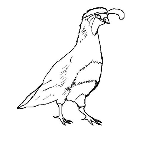 Quail Coloring Page Printable by Gambel S Quail Coloring Gambel S Quail Coloring