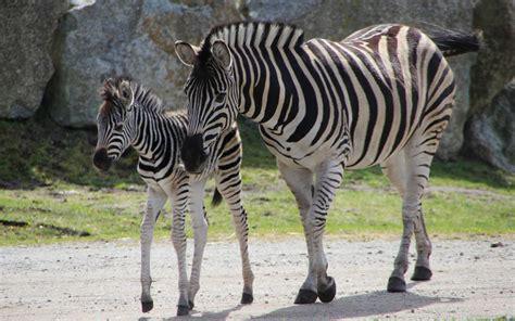 zebra möbel steppenzebra wildtiere serengeti park