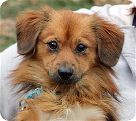 types of pomeranian mixes shiloh adopted larchmont ny spaniel unknown type pomeranian mix