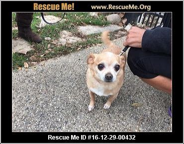 wisconsin chihuahua rescue adoptions rescueme org