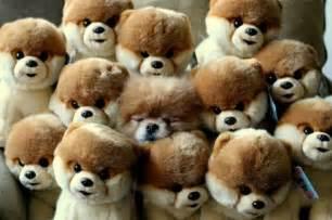 boo pomeranian stuffed animal can you spot boo the among the stuffed animals