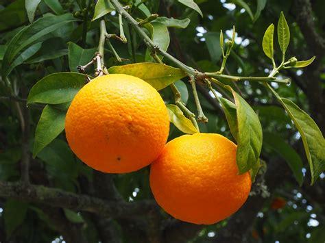 tree with small orange fruit free photo orange fruit orange tree free image on