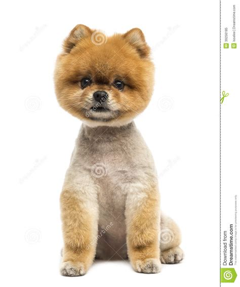 pomeranian sitting pomeranian sitting and looking at the stock photo image 39256185