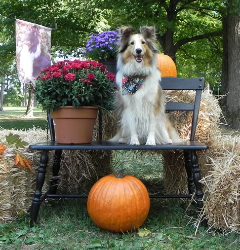rescue indiana indiana sheltie rescue 612 shelties rescued since april 1999