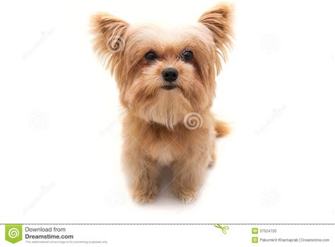 dogs with big heads big stock photo image 37524720