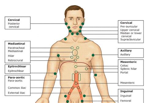 linfonodi interno coscia what are lymph nodes locations functions symptoms images