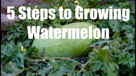 steps  growing watermelon youtube