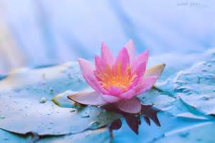 How To Lotus 100 Amazing Photos And Pictures Of Flowers