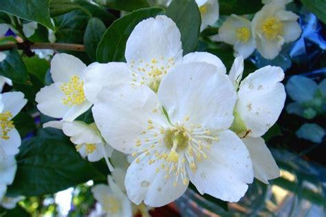significati fiori gelsomino significato significato fiori il significato