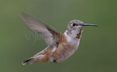 rufous hummingbird in waukesha county wisconsin on october