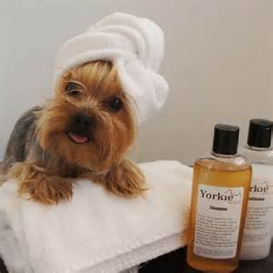how to cut a yorkie poo s hair 190 best images about yorkie hairdo on pinterest