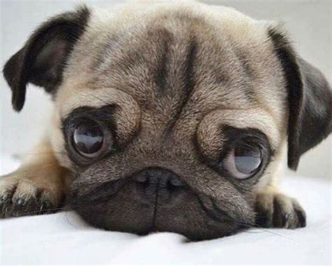 where do pug dogs originate from pugs