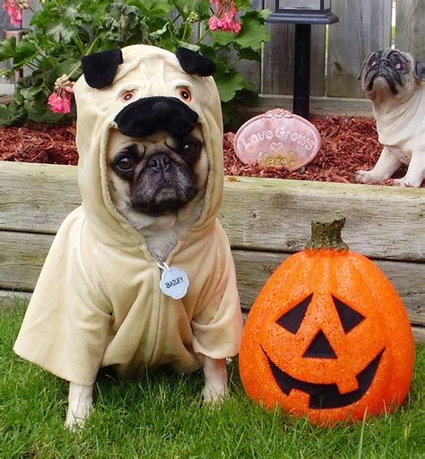 pug in a costume 18 pug dogs in costumes omfg