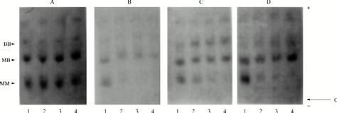 f creatine kinase total serum inactivation of phosphoglycerate mutase and creatine