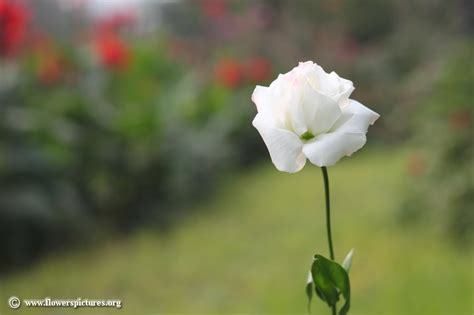 image for flowers lisianthus flower picture 27
