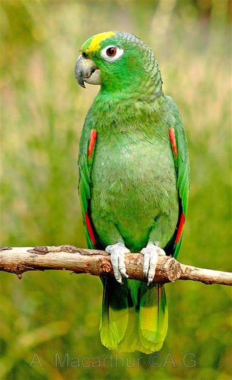 amazon parrot bird breeds pictures information