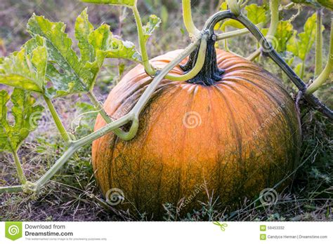 Find On Vine Pumpkin Growing On Vine Www Pixshark Images Galleries With A Bite