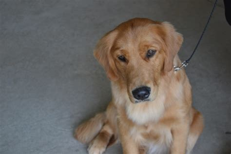 origin of golden retriever golden retriever history and health