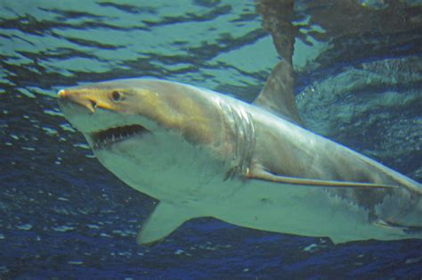 baby shark japan great white shark dies after three days in japanese