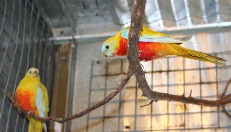 munchranch australian parakeets and siberian kittens for sale
