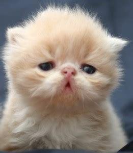gatti persiani da adottare i cuccioli persiani e il loro temperamento