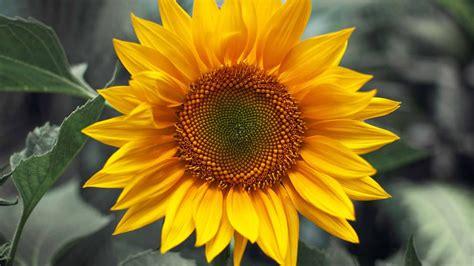 Bunga Matahari Sunflower dragongate