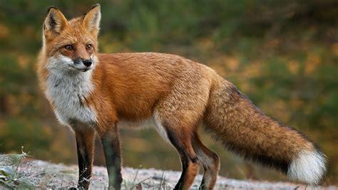 imagenes de zorros tristes peligro que viene el 191 zorro club de caza