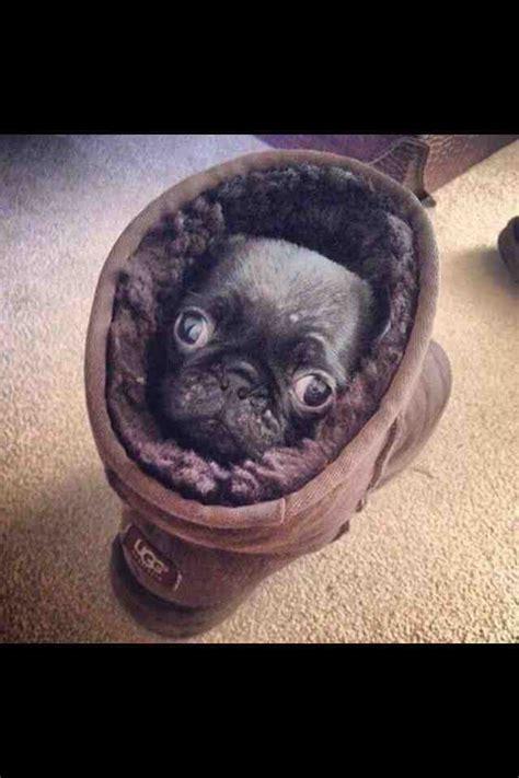 pug in an ugg a pug in an ugg on the rug looking snug rebrn