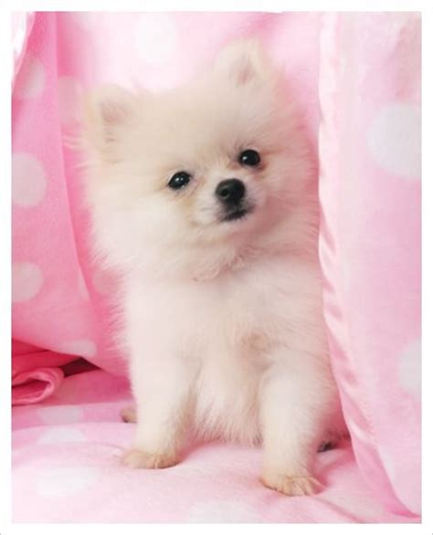 baby pomeranian for sale 153 best images about puppies on micro teacup pomeranian teacup
