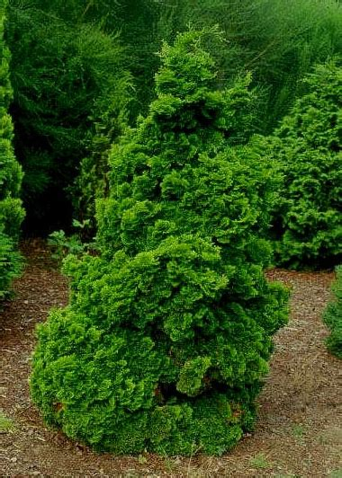 plant profile hinoki false cypress chamaecyparis obtusa