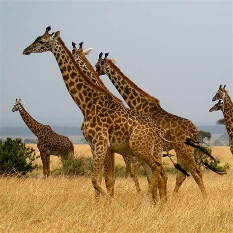 imagenes animales jirafa jirafas en kenia foto david green csic