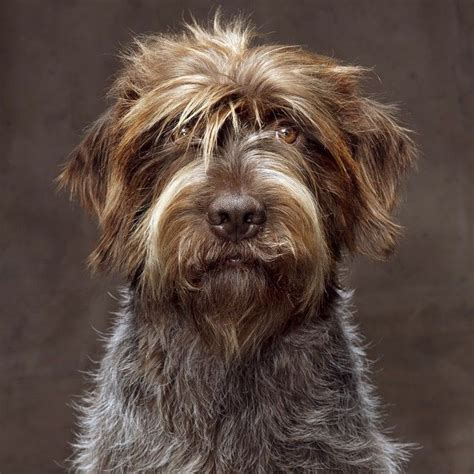 pointing griffon puppy best 25 wirehaired pointing griffon ideas on