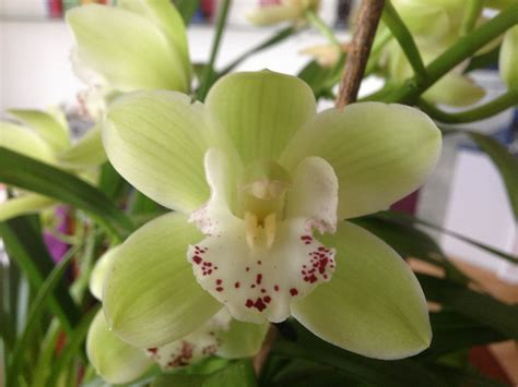 easy cymbidium orchid care culture and re bloom tips youtube