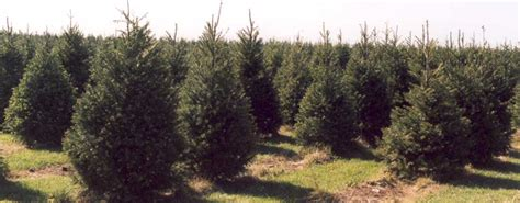 operation evergreen sends ohio grown christmas trees to