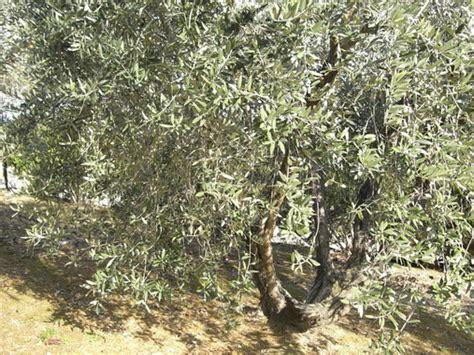 quando potare l ulivo da giardino potare l ulivo da giardino come potare ulivi da giardino