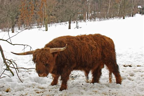 what is a tur tur dom 225 c 237 skotsk 253 n 225 horn 237 skot highland cattle besedice
