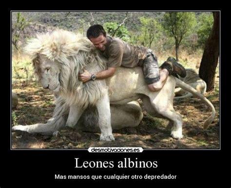 imagenes de leones albinos leones albinos desmotivaciones