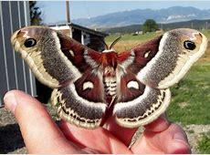 Glover's Moth - Hyalophora columbia - BugGuide.Net Kmk
