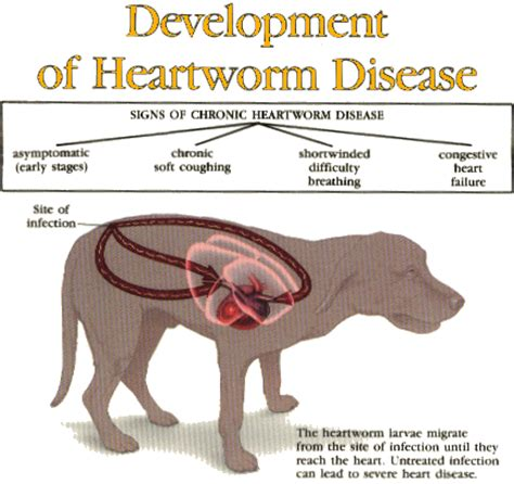 test animale guida heartworm in dogs http pets webmd dogs guide