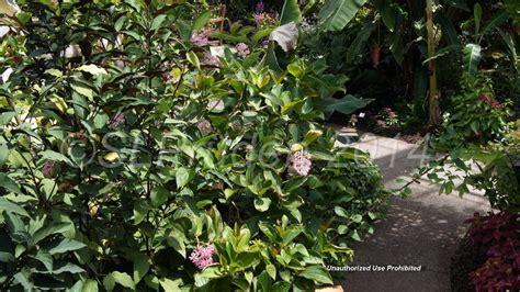 Plantfiles Pictures Medinilla Species Pink Lantern Matthaei Botanical Gardens Arbor