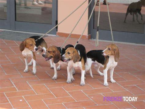 canile di pavia cuccioli adozioni di cani beagle provenienti da green hill al
